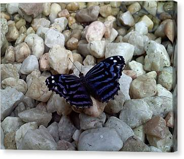 Blue Butterfly On The Rocks Canvas Print by Chad and Stacey Hall