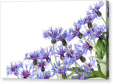 Canvas Print featuring the photograph Blue Cornflowers Postcard by Aleksandr Volkov