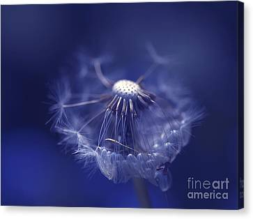 Blue Dandy Canvas Print by Sharon Talson