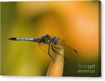 Blue Dasher - D007665 Canvas Print by Daniel Dempster