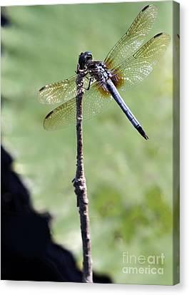 Blue Dasher Dragonfly Dancer Canvas Print by Sabrina L Ryan