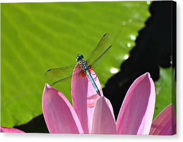 Canvas Print featuring the photograph Blue Dragonfly On Pink Water Lilly by Jodi Terracina