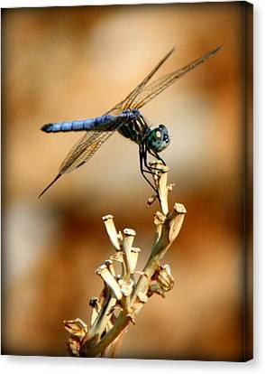 Blue Dragonfly Canvas Print by Tam Graff