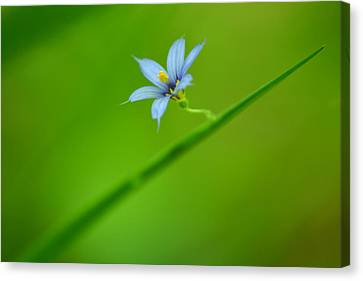 Canvas Print featuring the photograph Blue-eyed Grass by JD Grimes