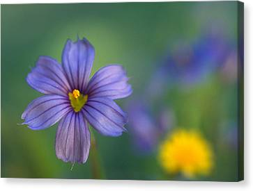 Blue Eyed Grass Canvas Print by Kathy Yates