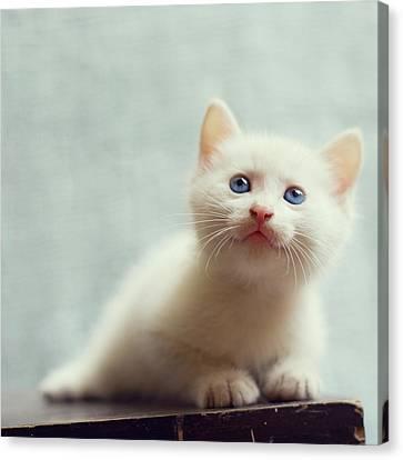 Blue Eyed White Coated Kitten Canvas Print by Nga Nguyen