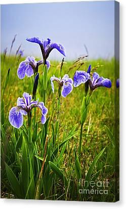 Blue Flag Iris Flowers Canvas Print by Elena Elisseeva