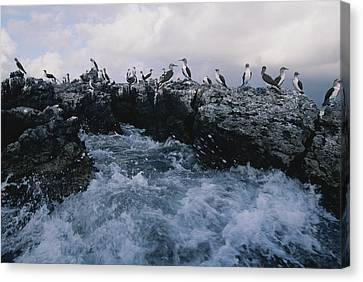 Blue-footed Boobies On A Rocky Canvas Print by Annie Griffiths