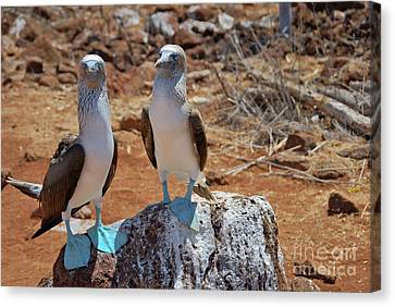 Blue-footed Boobies On Rock  Canvas Print by Sami Sarkis