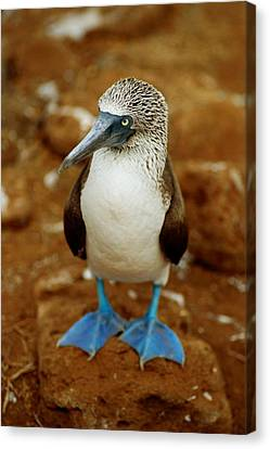 Blue-footed Booby Sula Nebouxii Canvas Print by James P. Blair