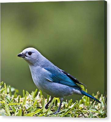 Blue-grey-tanager Canvas Print by Heiko Koehrer-Wagner