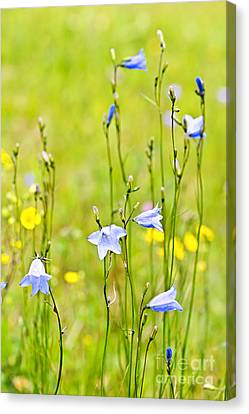 Thin Canvas Print - Blue Harebells Wildflowers by Elena Elisseeva