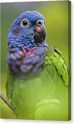 Blue-headed Parrot Pionus Menstruus Canvas Print by Ingo Arndt