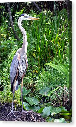 Canvas Print featuring the photograph Blue Heron At The Everglades by Pravine Chester