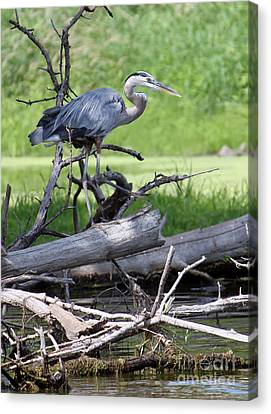 Blue Heron At The Lake Canvas Print by Debbie Hart