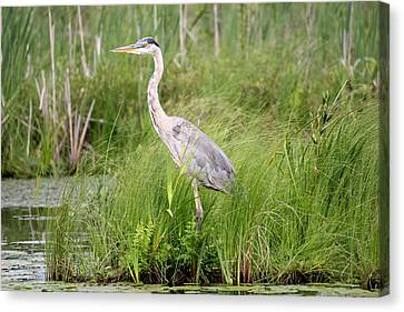 Blue Heron In Grasses Canvas Print