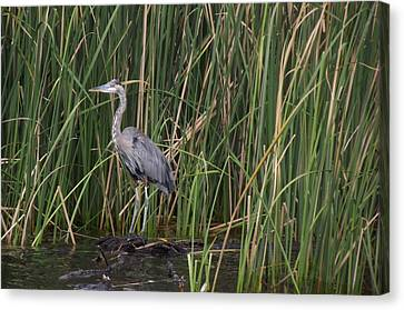 Blue Heron In Water  Canvas Print