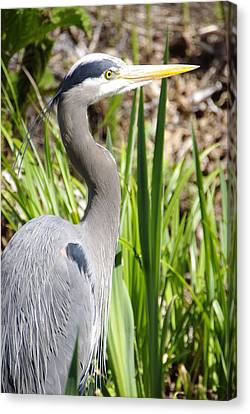 Canvas Print featuring the photograph Blue Heron by Marilyn Wilson