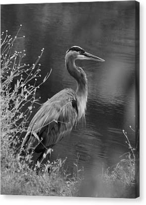Blue Heron Observing Pond - 51006955m  Canvas Print by Paul Lyndon Phillips
