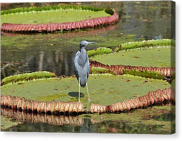 Canvas Print featuring the photograph Blue Heron On Giant Lilly Pad by Jodi Terracina
