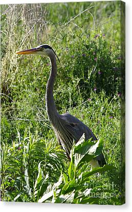Canvas Print featuring the photograph Blue Heron by Tannis  Baldwin