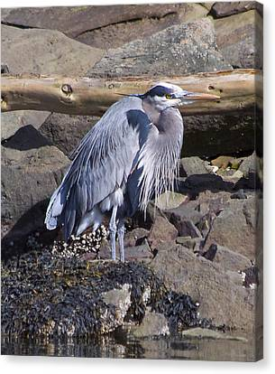 Blue Heron  Canvas Print by Tracey Levine