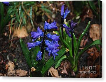 Blue Hyacinth Canvas Print