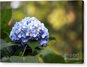 Canvas Print featuring the photograph Blue Hydrangea by Denise Pohl