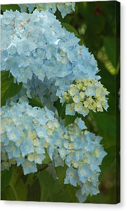 Canvas Print featuring the photograph Blue Hydrangeas by Peg Toliver