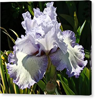 Blue Iris Canvas Print by Nick Kloepping