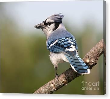 Blue Jay Canvas Print by Art Whitton
