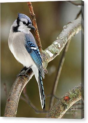 Blue Jay I Canvas Print
