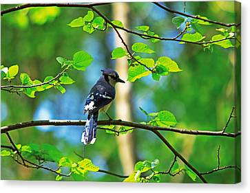 Canvas Print featuring the photograph Blue Jay by Josef Pittner
