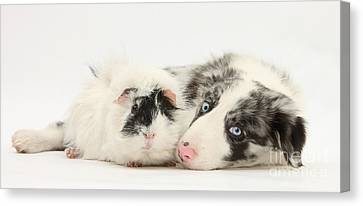Blue Merle Border Collie With Guinea Pig Canvas Print by Mark Taylor