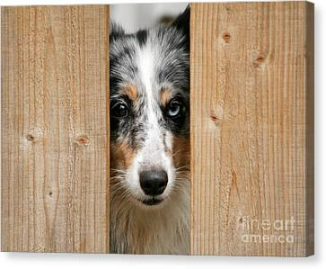 Blue Merle Sheltie Canvas Print by Kati Molin