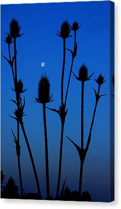 Blue Moon Thistle Canvas Print