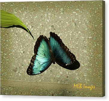Blue Morpho 1 Canvas Print