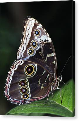 Blue Morpho Butterfly Canvas Print by Natural Selection Ralph Curtin