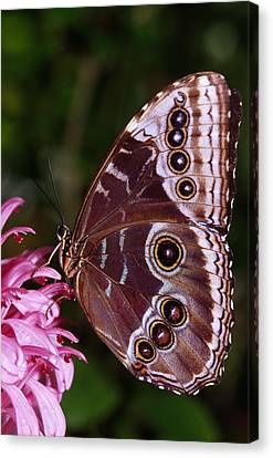Blue Morpho Butterfly On Flower Canvas Print by Natural Selection Ralph Curtin