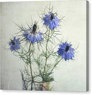 Blue Nigella Sativa Flowers Canvas Print by By Julie Mcinnes