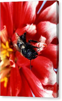 Blue Orchard Bee Canvas Print by Science Source