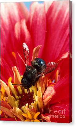 Blue Orchard Bee Canvas Print by Scott Bauer