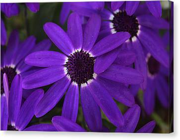 Canvas Print featuring the photograph Osteosperumum by David Grant