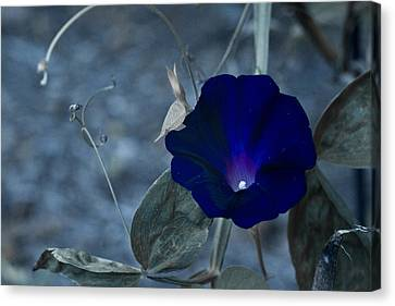 Blue Petunia 2 Canvas Print