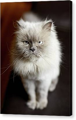 Blue Point Himalayan Cat Looking Irritated Canvas Print by Matt Carr
