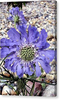 Canvas Print featuring the painting Blue Scabiosa by Susan Fisher