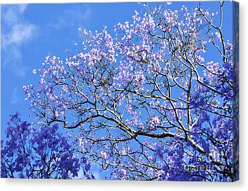 Blue Sky And Jacaranda Blossoms Canvas Print by Kaye Menner