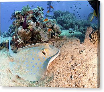 Blue-spotted Stingray Canvas Print by Photostock-israel