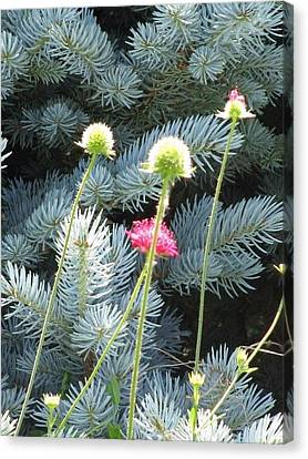 Blue Spruce And A Wish Canvas Print by Shawn Hughes