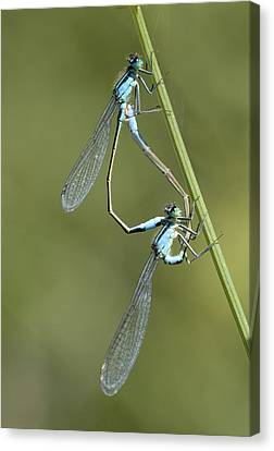 Blue-tailed Damselfly Canvas Print by Adrian Bicker